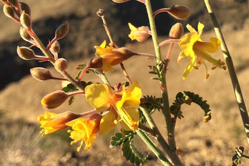 Caesalpinia virgata flowers during golden hour