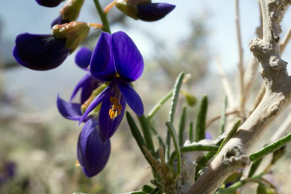 Indigo bush close-up