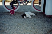 The Dancing Cat - Thomas as a kitten