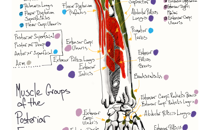 An illustration of the muscles of the posterior forearm