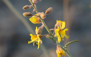 Caesalpinia virgata, close-up of flowering stack with flower, bud, and leaves