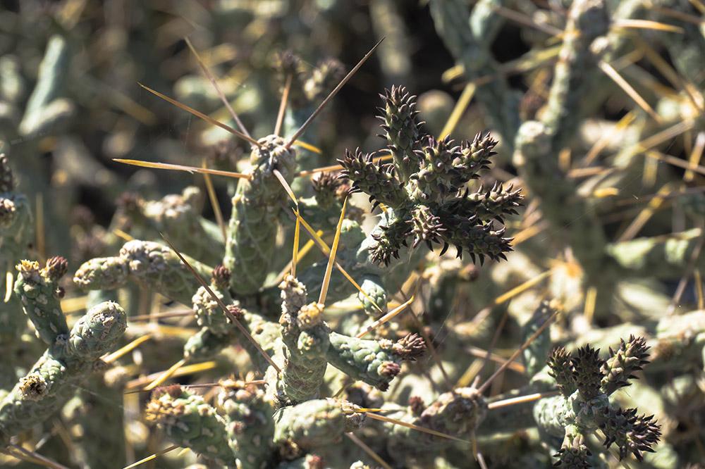 Pencil Cholla cactus, Santa Rosa & San Jacinto Mountains National Monument Visitor Center