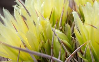 CA barrel cactus flowers & spine, close-up