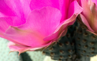 Beavertail cactus petals
