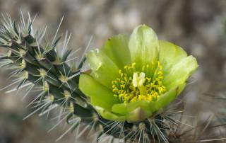 Silver/golden cholla cactus bloom, single