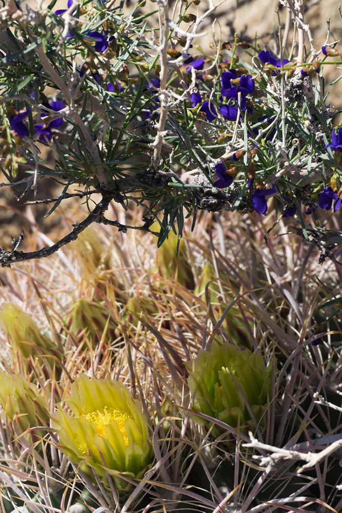 Indigo bush and barrel cactus