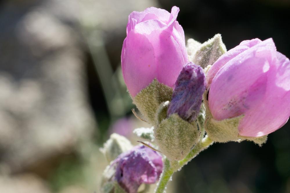 Close-up of pink desert globe mallow