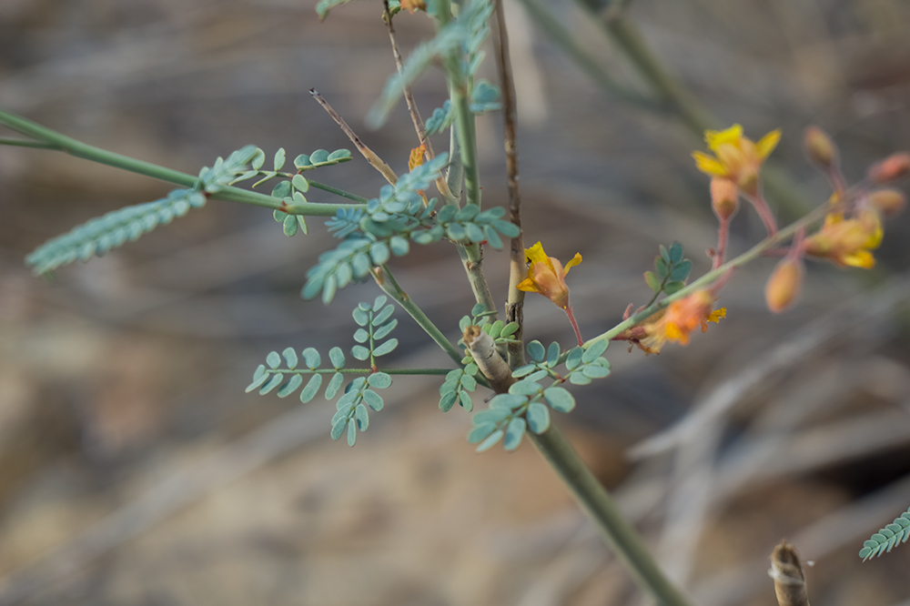 Caesalpinia virgata leaves