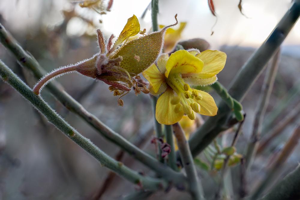 Caesalpinia virgata flower with pod