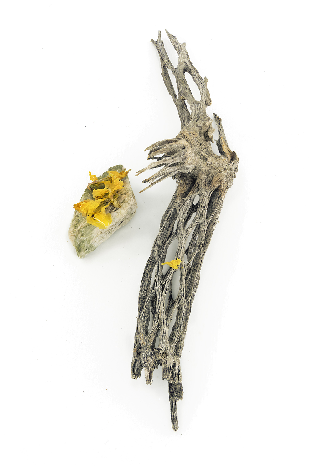 Cylindropuntia with yellow flowers (Palo Verde)