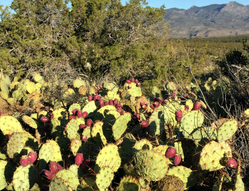 We, the People, Picked a Peck of Prickly Pears (Cactus Fruit, that is!)…
