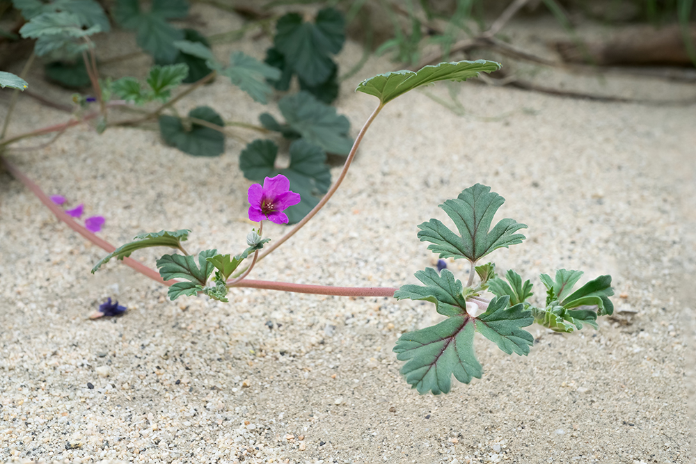 Erodium texanum, overview, taken with the Sony alpha