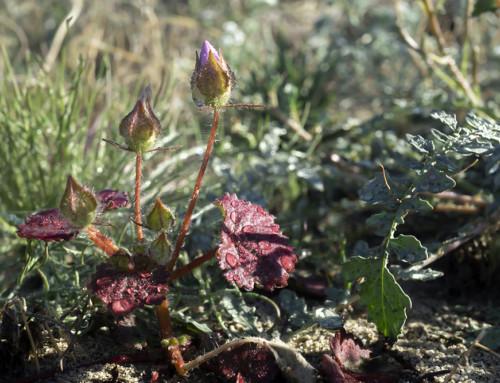 Desert Five-spot (Eremalche rotundifolia) Buds