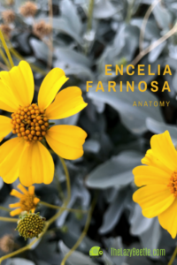 Encelia farinosa Anatomy Blog for Pinterest